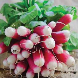 Radish 'French Breakfast 3' (Seeds)