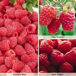 Raspberry 'Full Season Collection'
