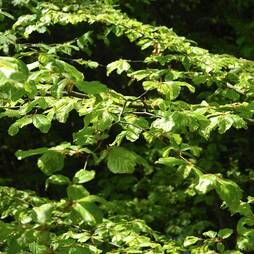 Green Beech (Hedging)