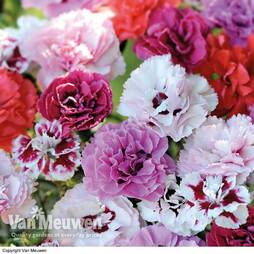 Pinks 'Nurseryman's Choice' Collection