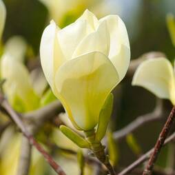 Magnolia denudata 'Yellow River'