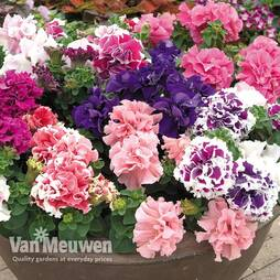Petunia 'Orchid Flowered Mix' (Garden Ready)