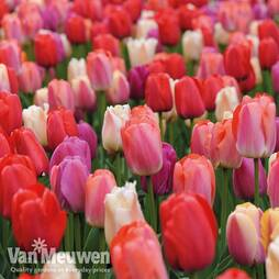 Tulip 'Sunset Shades'