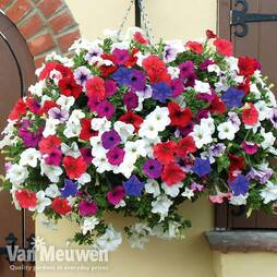 Petunia 'Trailing Surfinia Mixed'
