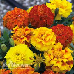 Marigold F1 'Zenith Mixed'
