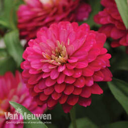 Zinnia 'Zahara Double Strawberry' (Seeds)